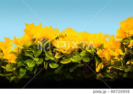オオゴンマサキの新芽風景です。縁起のいい生垣で華やかな雰囲気です。 66720956