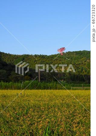 稲穂が垂れ空には鳥対策のカイトが飛ぶ田んぼ 66723320