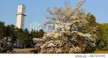 甲府市、古瀬スポーツ公園の時計台と桜 66724795