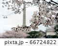甲府市、舞鶴城公園、甲府城の桜 66724822
