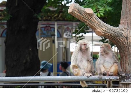 メリーゴーラウンドをバックに佇む猿 66725100