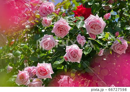 函館市旧イギリス領事館ローズガーデンの薔薇 66727598