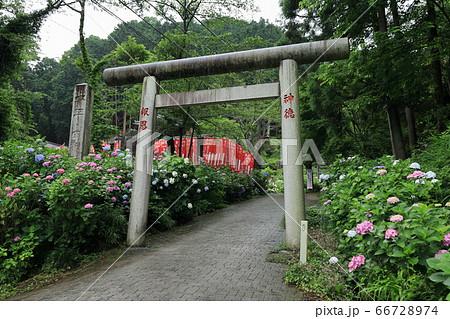 栃木市太平山神社表参道のあじさい坂 66728974