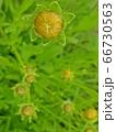 植物 芽 水滴 66730563