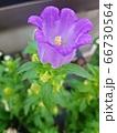 花 ゼラニウム 植物 66730564