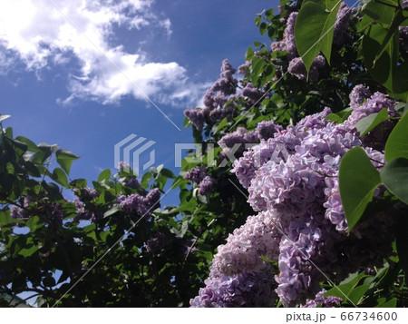【タスマニアの初夏】満開のライラックの花と青空 66734600