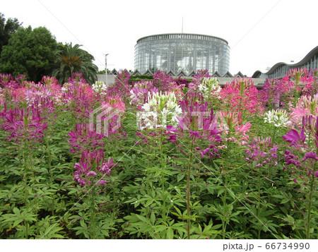 酔蝶花と呼ばれるクレオメの桃色と白色の花 66734990