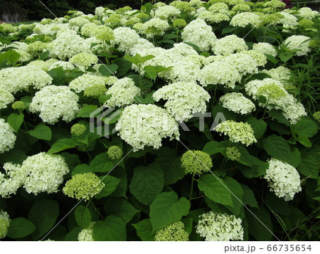 ハイドランジアアナベルというアジサイの白い花アジサイ 66735654