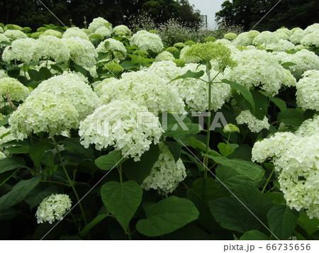 ハイドランジアアナベルというアジサイの白い花アジサイ 66735656