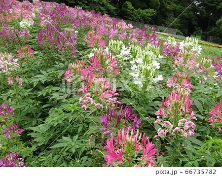 酔蝶花と呼ばれるクレオメの桃色と白色の花 66735782