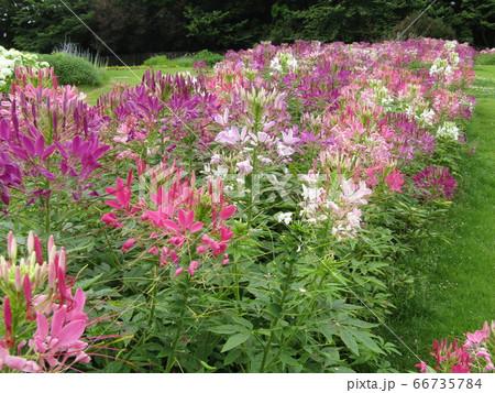 酔蝶花と呼ばれるクレオメの桃色と白色の花 66735784