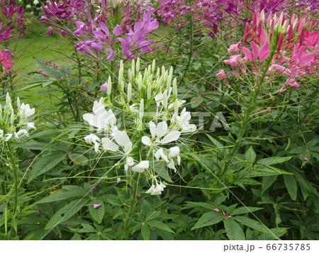 酔蝶花と呼ばれるクレオメの桃色と白色の花 66735785