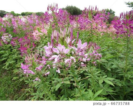 酔蝶花と呼ばれるクレオメの桃色の花 66735788