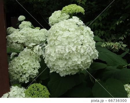 三陽メデアフラワーミュージアムの裏庭のカシワバアジサイの白い花 66736300