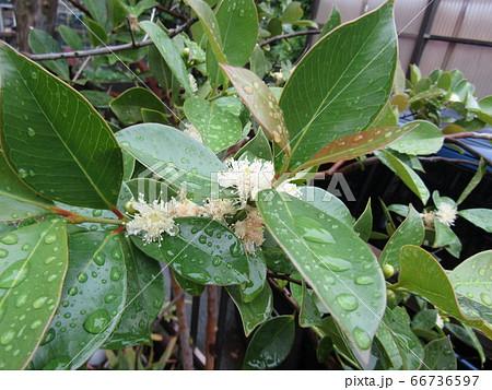 雨に濡れたトロピカルフルーツヒメグァバのクリーム色の花 66736597