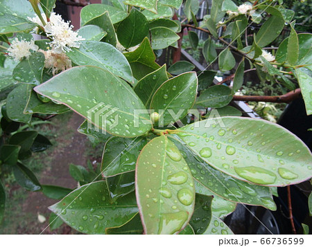 雨に濡れたトロピカルフルーツヒメグァバのクリーム色の花 66736599
