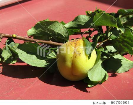 収穫した我が家の梅の実 66736602