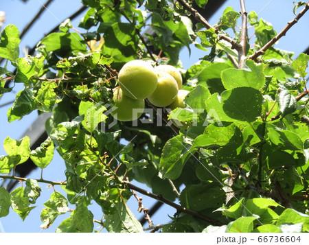 収穫前の我が家の梅の実 66736604