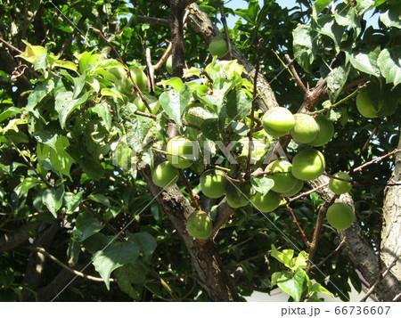 収穫前の我が家の梅の実 66736607