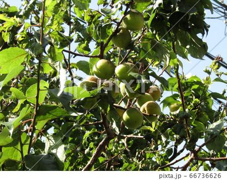 収穫前の我が家の梅の実 66736626