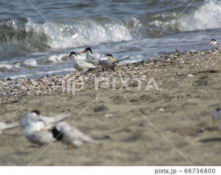 検見川浜の営巣地に来たコアジサシ 66736800