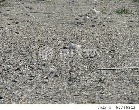 検見川浜の営巣地に来たコアジサシ 66736813
