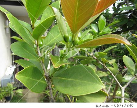 トロピカルフルーツヒメグァバの緑色の蕾 66737840