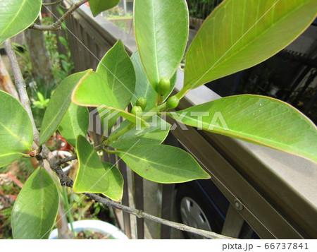 トロピカルフルーツヒメグァバの緑色の蕾 66737841