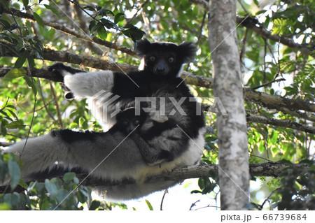 インドリ(アンダシベ国立公園、マダガスカル) 66739684