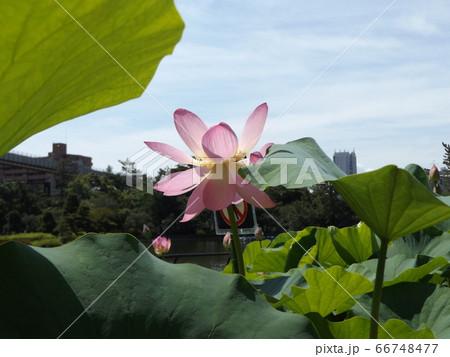 咲き始めた千葉公園のオオガハスの桃色の花 66748477