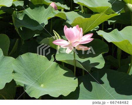 咲き始めた千葉公園のオオガハスの桃色の花 66748482
