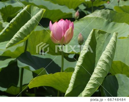 もう直ぐ咲く千葉公園のオオガハスの桃色の蕾 66748484
