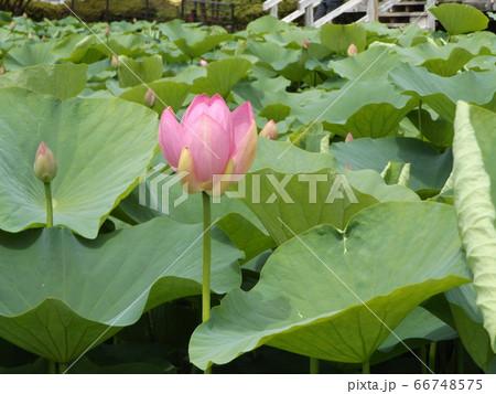 もう直ぐ咲く千葉公園のオオガハスの桃色の蕾 66748575