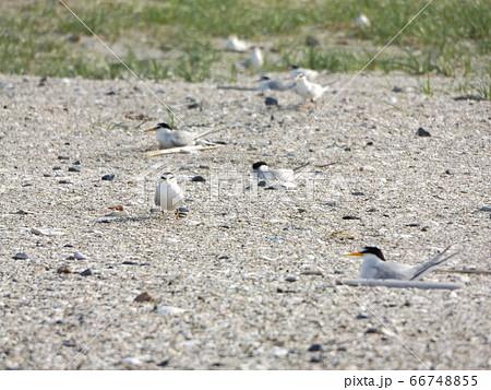 検見川浜の営巣地でのコアジサシ 66748855