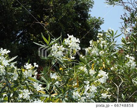 千葉の花木キョウチクトウの白色の花 66748858