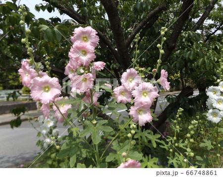 タチアオイの桃色の花 66748861