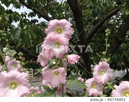 タチアオイの桃色の花 66748862