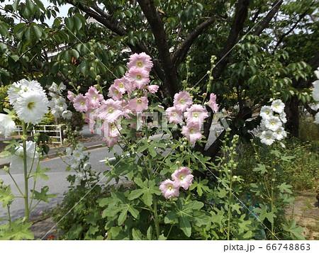 タチアオイの桃色の花 66748863