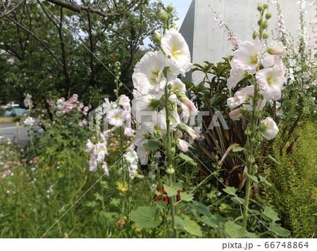 タチアオイの白色の花 66748864