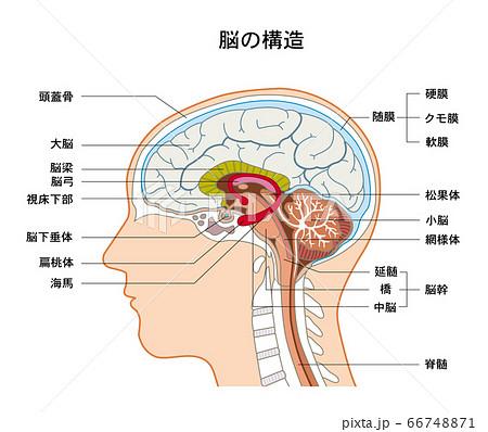 脳の構造 脳のつくり 66748871