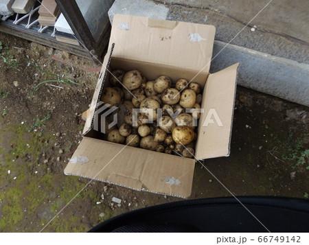 家庭菜園で収穫されたばかりのジャガイモ 66749142