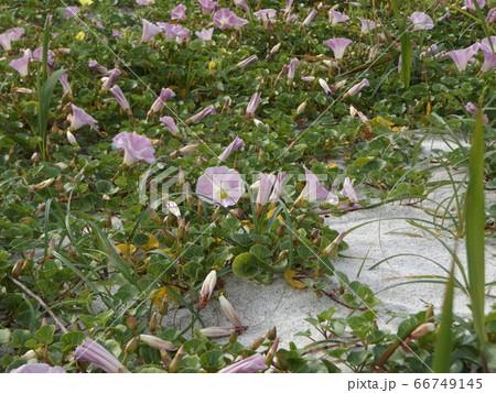 検見川浜のハマヒルガオの桃色の花 66749145