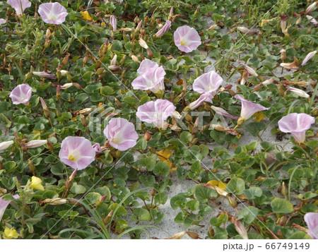 検見川浜のハマヒルガオの桃色の花 66749149