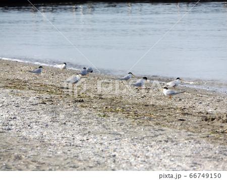 検見川浜砂浜海岸でのコアジサシ 66749150