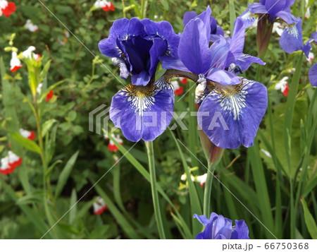 ジャーマンアイリスより小ぶりなアヤメの花 66750368