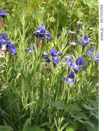 ジャーマンアイリスより小ぶりなアヤメの花 66750369