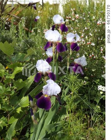 ジャーマンアイリスの白と青色の大きい花 66750370