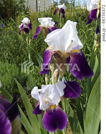 ジャーマンアイリスの白と青色の大きい花 66750372