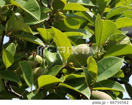 秋には黄色く熟すカリンの実 66750562
