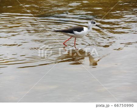 稲毛海浜公園の池にセイタカシギ 66750990
